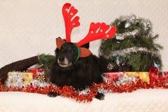 Czarny Groenendeel z reniferowymi poroże Fotografia Royalty Free