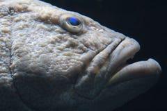 czarny grouper Obraz Royalty Free