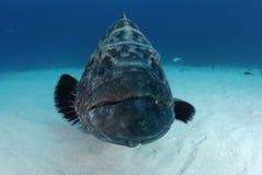 czarny grouper Zdjęcia Royalty Free