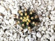 Czarny Gymno kaktus obrazy stock