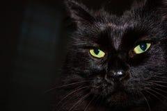 Czarny Himalajski kot twarzy zakończenie up obrazy royalty free