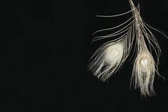 Czarny Horyzontalny tło Z Białymi Ranunculus piórkami I kwiatami Fotografia Royalty Free