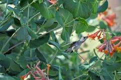 Czarny Hummbingbird zbieracki nektar Zdjęcie Royalty Free