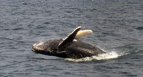 Czarny Humpback wieloryb zdjęcie stock