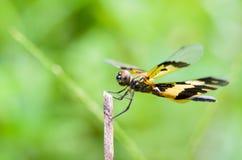 Czarny i żółty dragonfly Fotografia Stock