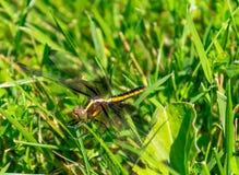 Czarny i żółty dragonfly Libellula luctuosa obraz royalty free