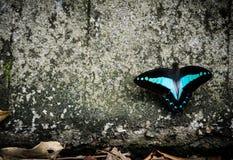 Czarny i błękitny motyl Zdjęcie Royalty Free