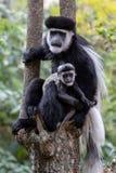 Czarny I Biały Colobus małpy, Kenja, Afryka zdjęcia stock