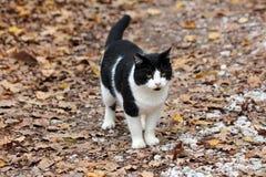 Czarny i biały domowy kot patrzeje ciekawie w odległości podczas gdy stojący na żwir lasowej ścieżce zakrywającej z wysuszonymi s zdjęcia stock