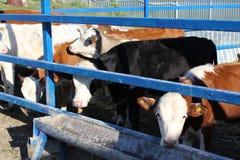 Czarny i biały krowy je siano w stajence fotografia stock