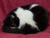 Czarny i biały szkocki fałdu shorthair kot zdjęcie royalty free