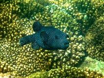 Czarny I Biały Łaciasta gwinei Puffer ryba w morzu Cortez Fotografia Stock