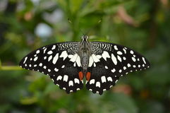 Czarny I Biały Łaciasty motyl Obrazy Royalty Free