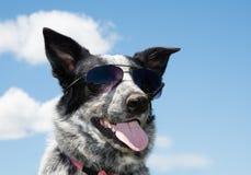 Czarny i biały łaciasty Teksas Heeler jest ubranym okulary przeciwsłonecznych zdjęcia royalty free