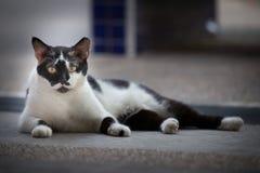 Czarny I Biały łaty ulicy kot Fotografia Stock