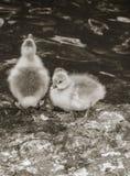 Czarny i biały żółci kurczątka w naturze Obraz Royalty Free