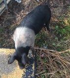 Czarny i biały żeński świniowaty łasowanie Obraz Royalty Free
