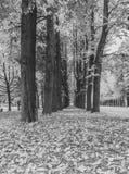 Czarny i biały, aleja drzewa z spadać liśćmi w parku w a obraz royalty free
