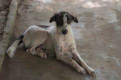 Czarny i biały bezpański ciency psy w Thailand zdjęcia stock