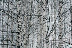 czarny i biały brzozy w brzoza gaju, piękny zima krajobraz, drewniana tekstura obraz stock