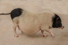 Czarny i biały ciężarna świnia na gospodarstwie rolnym Zdjęcie Stock