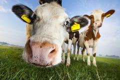 Czarny i biały, czerwone i białe krowy Fotografia Royalty Free