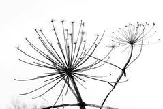 Czarny i biały dandelion obraz royalty free