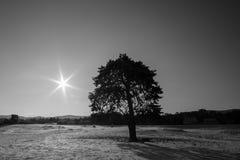 Czarny i biały drzewo i słońce na śnieżnym tundry polu Zdjęcie Royalty Free