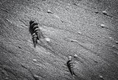 Czarny i biały fotografia seashells na plaży Zdjęcia Stock