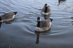 Czarny i biały gąski pływają w jeziorze w jesieni plenerowej fotografia royalty free