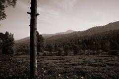 czarny i biały herbaciane plantacje na wyższości w puncak Bogor zdjęcia royalty free