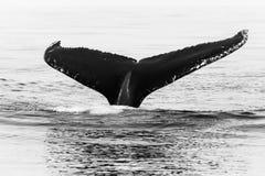 Czarny I Biały Humpback wieloryba ogon obrazy stock