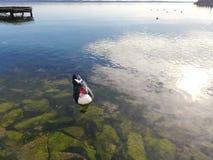 Czarny i biały kaczka z czerwoną twarzą unosi się w wodzie nad zielonymi skałami obraz stock