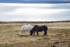 Czarny i biały koń Zdjęcia Stock