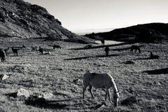 Czarny i biały konie Zdjęcie Royalty Free