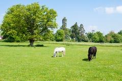 Czarny i biały konie Zdjęcie Stock