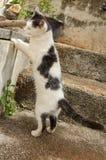 Czarny I Biały kot pozycja Na Tylnych nogach obraz royalty free