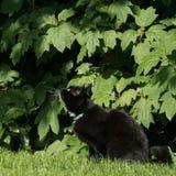 Czarny i biały kot przygotowywający skakać w zielonym ulistnieniu Fotografia Stock