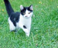 Czarny i biały kot wewnątrz Obraz Royalty Free