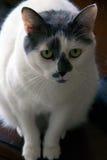 Czarny i biały kot z dużymi zielonymi oczami Fotografia Royalty Free