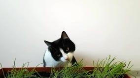 Czarny i biały kota łasowanie kiełkował trawy przeciw białej ścianie zbiory wideo