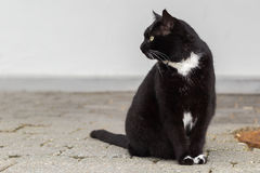 Czarny i biały kota obsiadanie ono wpatruje się lewica obraz stock