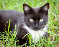 Czarny I Biały kota obsiadanie w Zielonej trawie Fotografia Royalty Free