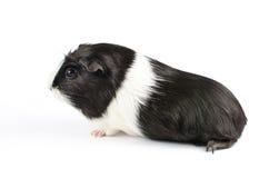 Czarny I Biały królik doświadczalny Sideon Fotografia Stock