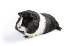 Czarny I Biały królik doświadczalny Sideon Zdjęcia Stock