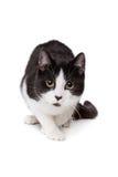 Czarny i biały krótki z włosami kot Zdjęcia Royalty Free