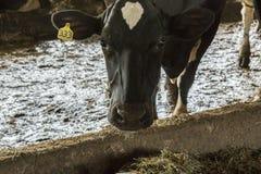 Czarny I Biały krowy łasowania siano w stajni Obraz Stock