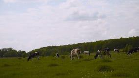 Czarny i biały krowy gapią się w zielonej trawiastej holenderskiej wiosny łące pod niebieskim niebem 4K zdjęcie wideo