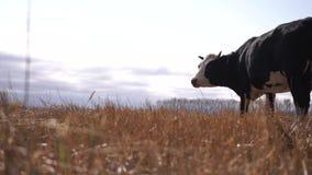 Czarny i biały krowy pasanie na jesieni łące zbiory