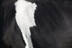 Czarny i biały kryjówka na stronie holstein krowa zdjęcia stock